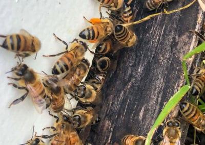 Bees Outside Hive