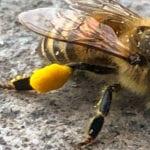 pollen on bee's leg