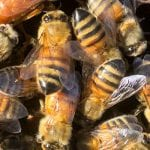 Worker Bees Image