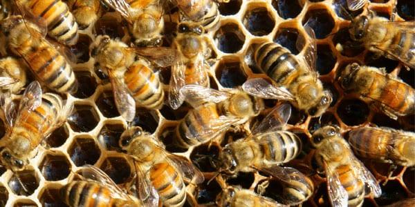 Honey Bees on honey combs