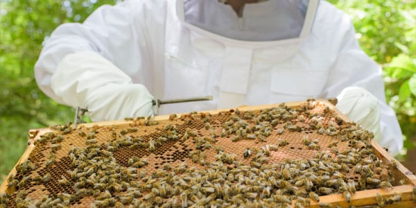Beekeeper with frame from hive and bees